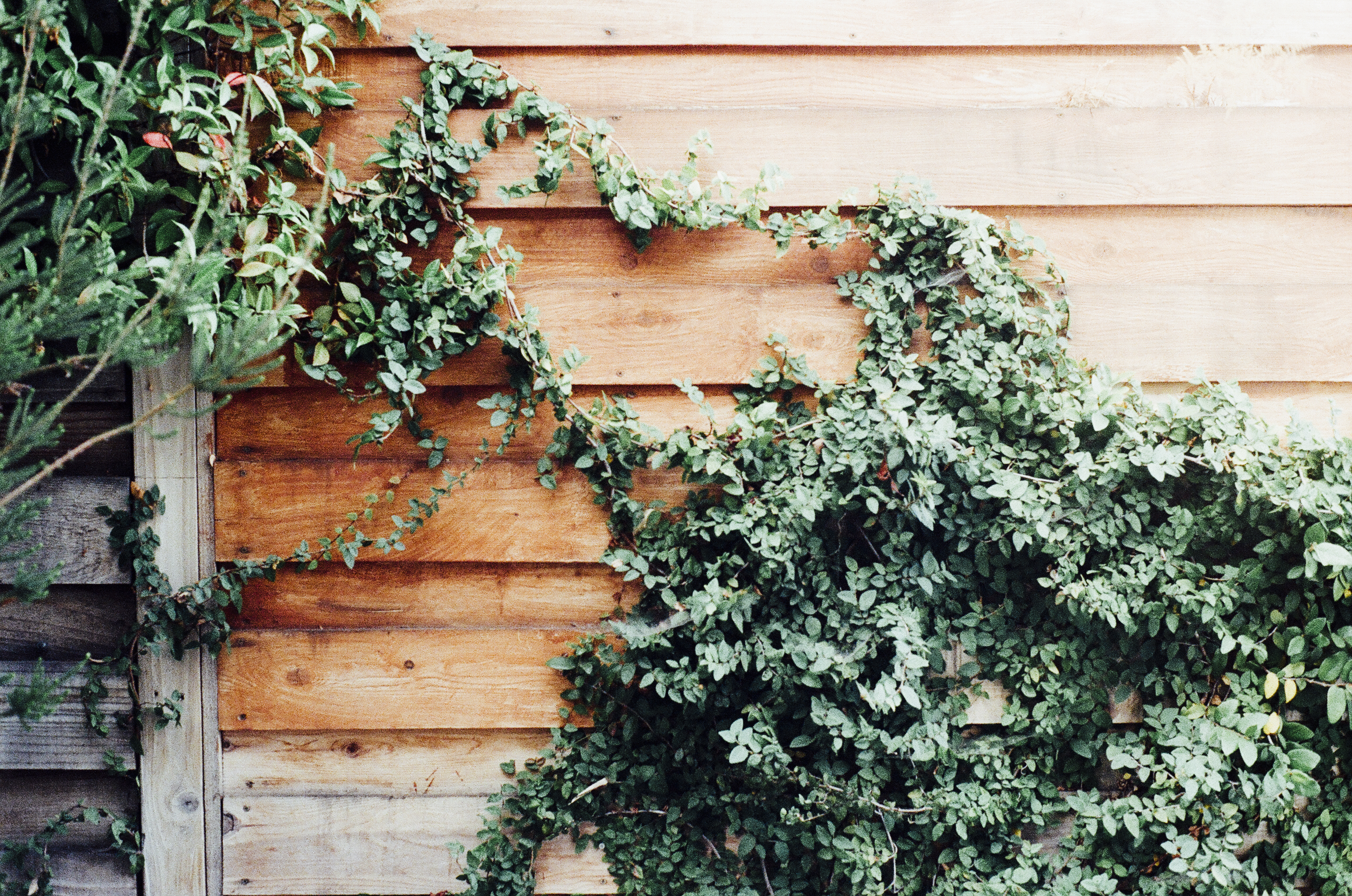 fence-overgrown-ivy